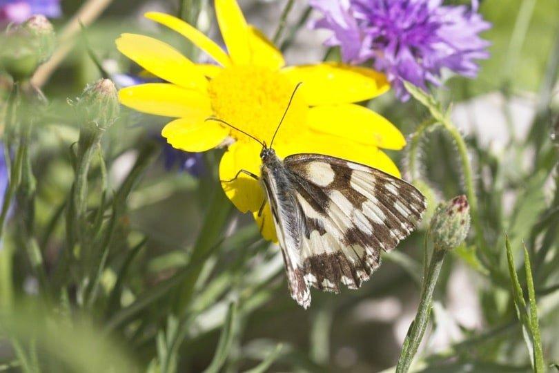 Papillon du jardin, Demi-deuil butinant dans la prairie fleurie