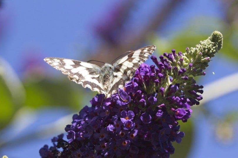 Demi-deuil papillon du jardon noir et blanc