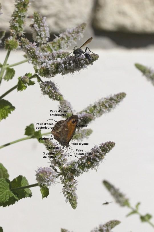 Description d'un papillon du jardin
