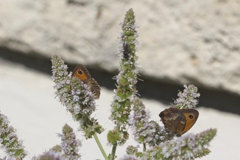 Deux Amaryllis sur fleurs de menthe