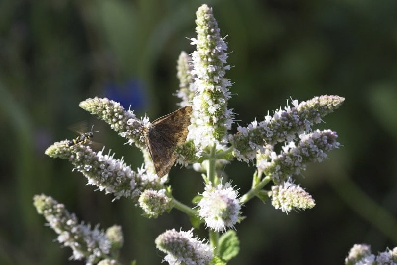 Doublure jaune sur fleurs de menthe