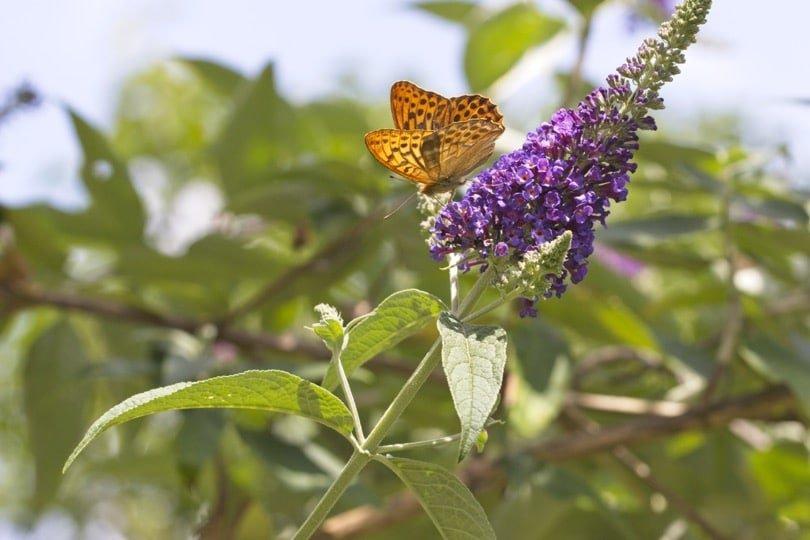 Papillon Grand-collier argenté sur fleurs de buddleia au jardin