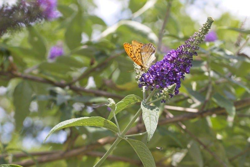 Grand-collier argenté sur fleurs de buddleia