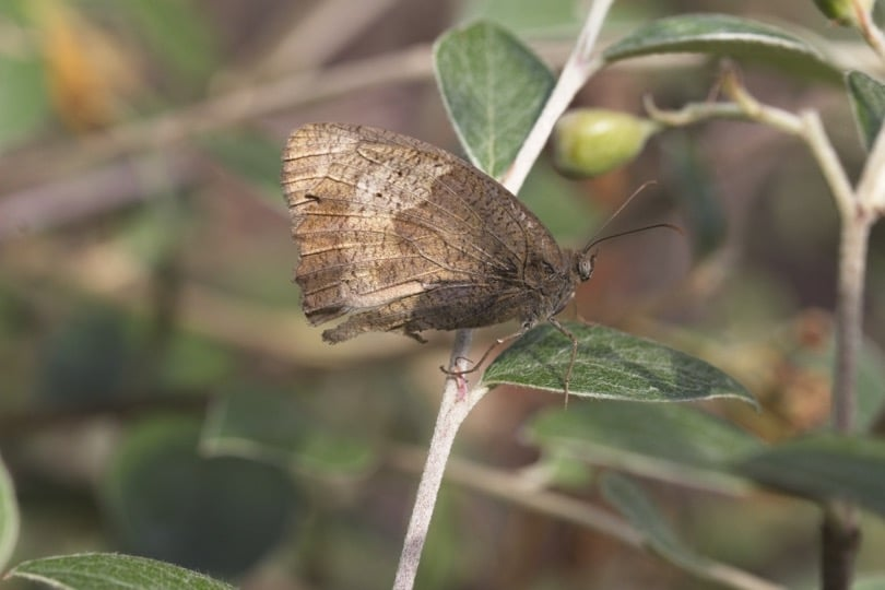 Papillon du jardin, femelle myrtil