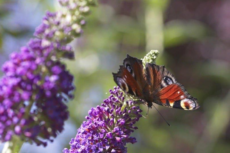 Papillon Paon du jour sur fleurs de buddleia