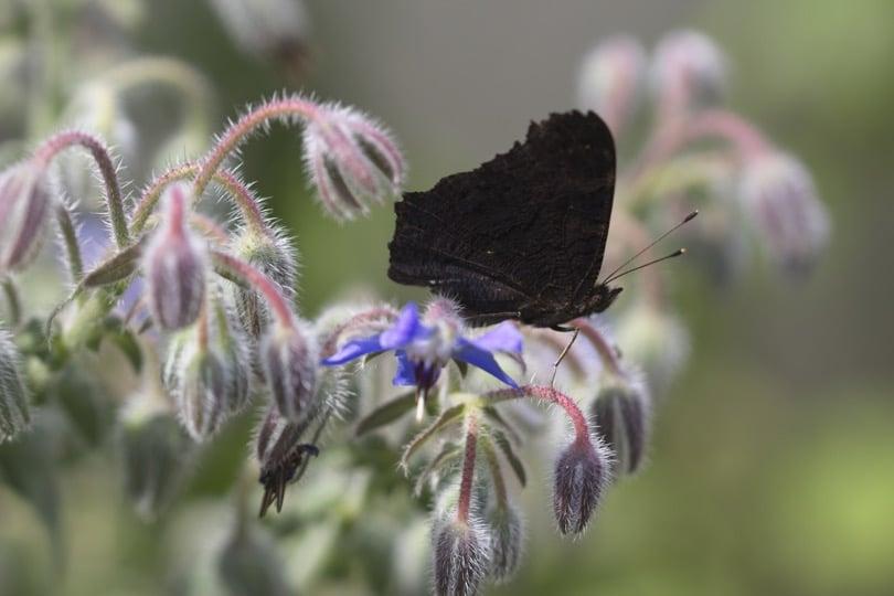 Paon du jour sur fleurs de bourrache