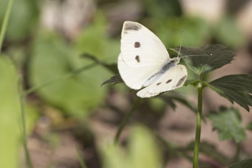 Papillon Piéride du chou femelle