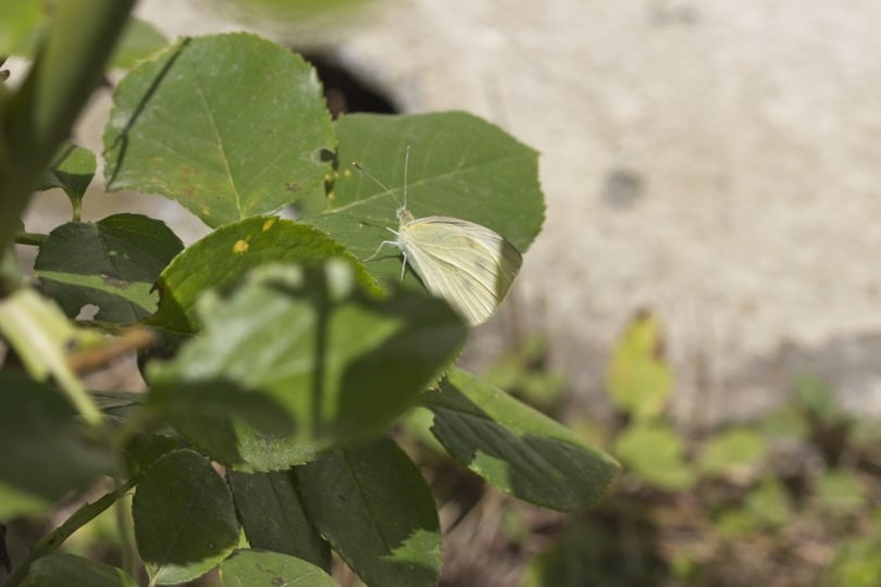 Identifier les papillons du jardin : la piéride