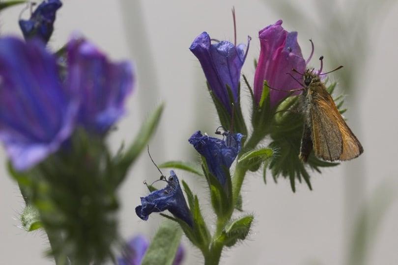 Papillon Hespérie de la Houlque sur fleurs de vipérine