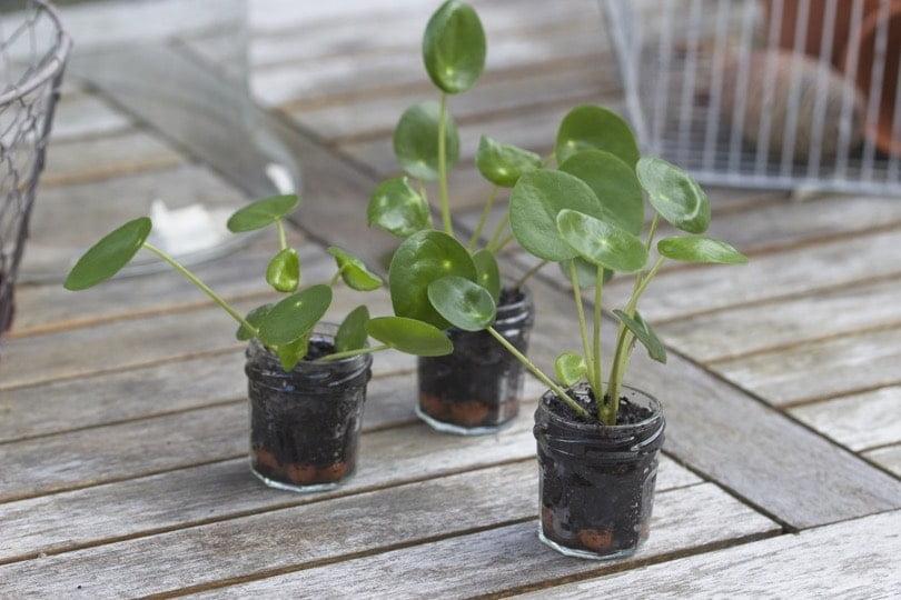 Boutures de pilea dans de mini pots à confiture