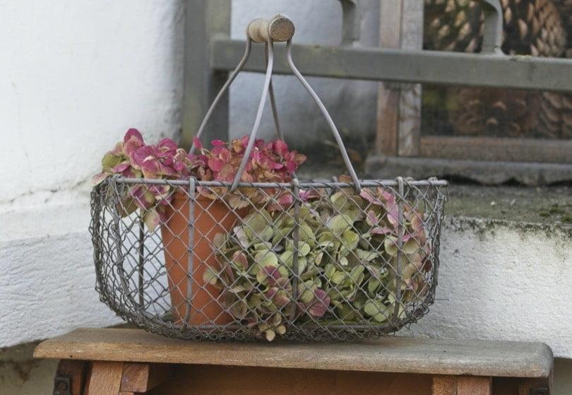 Fleurs d'hortensia automne 2019