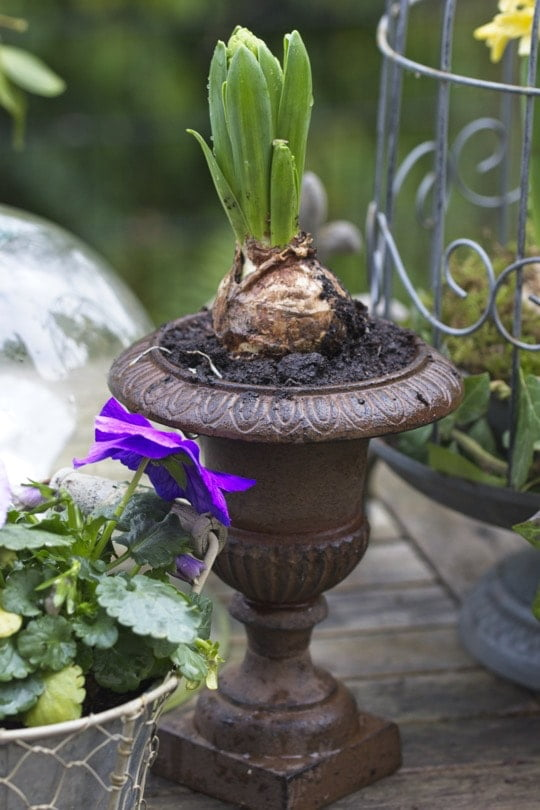 Jacinthe plantée dans un mini vase Médicis