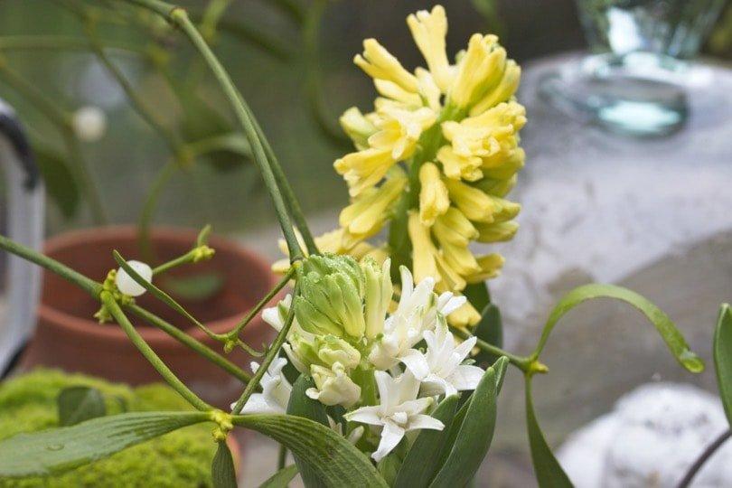 Des jacinthes au jardin en hiver