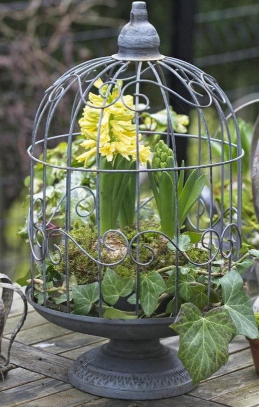 Jacinthes jaune dans une cage