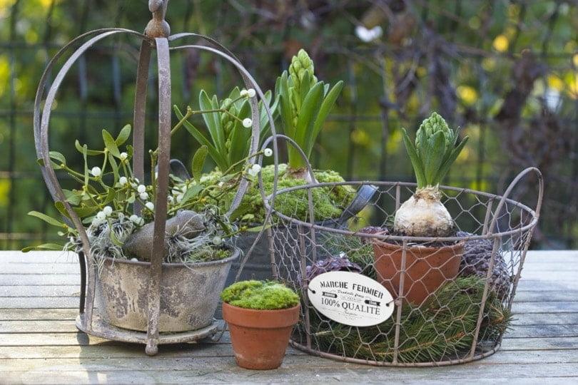 Mettre en valeur des jacinthes en hiver
