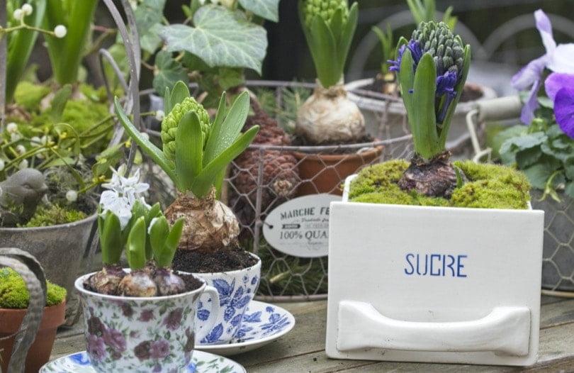 Planter des jacinthes