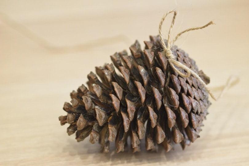 Pomme de pin pour réaliser une boule de graisse originale