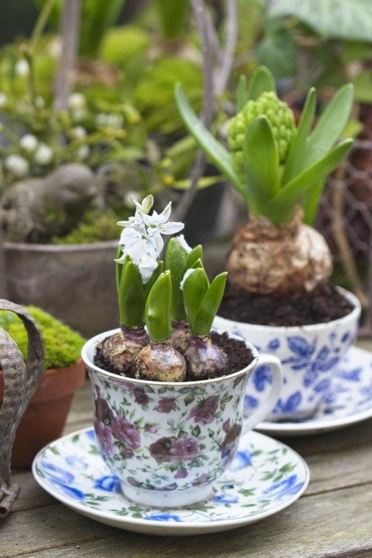 Scille et jacinthes plantées dans des tasses