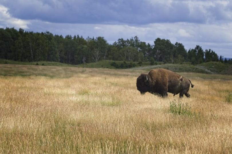 Bison au zoo de Saint-Félicien