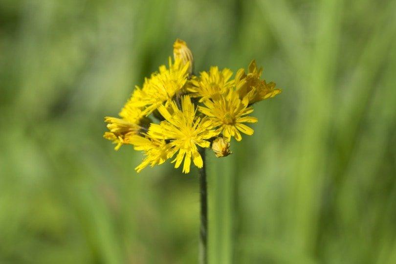 Epervière jaune