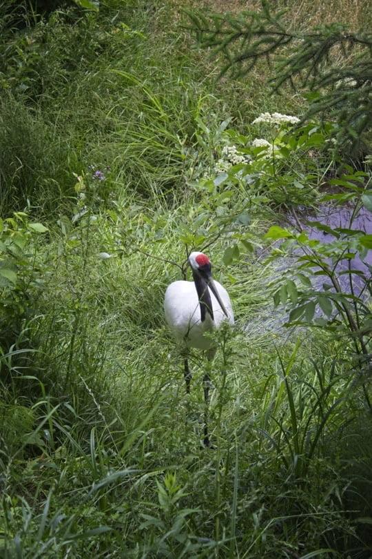 Grue du Japon du Zoo de Saint Félicien