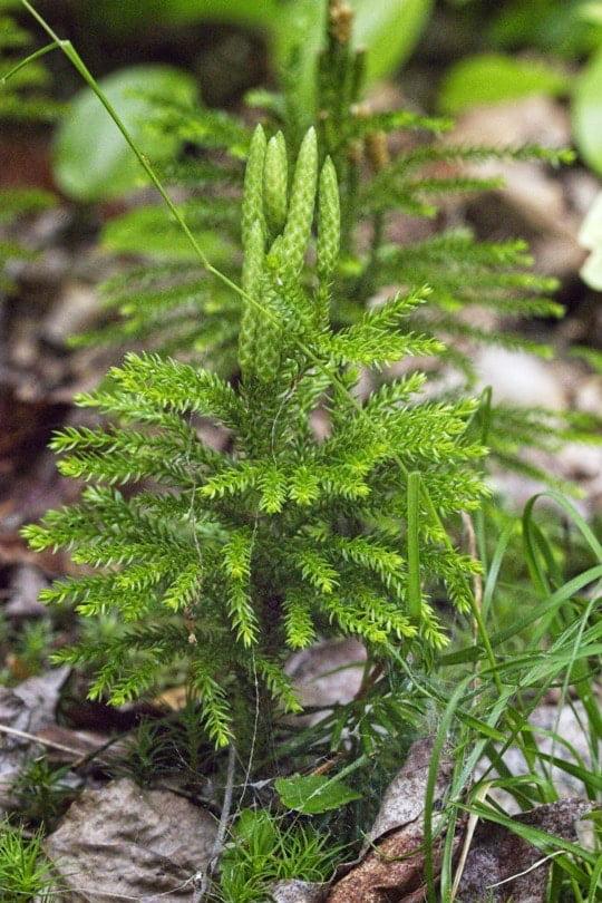 Jeune pin