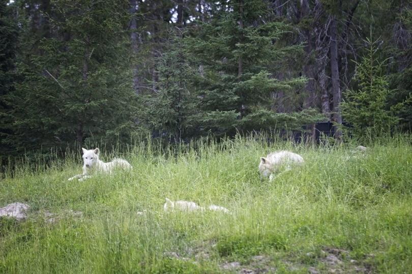 Loups blancs du zoo de saint-félicien au Canada