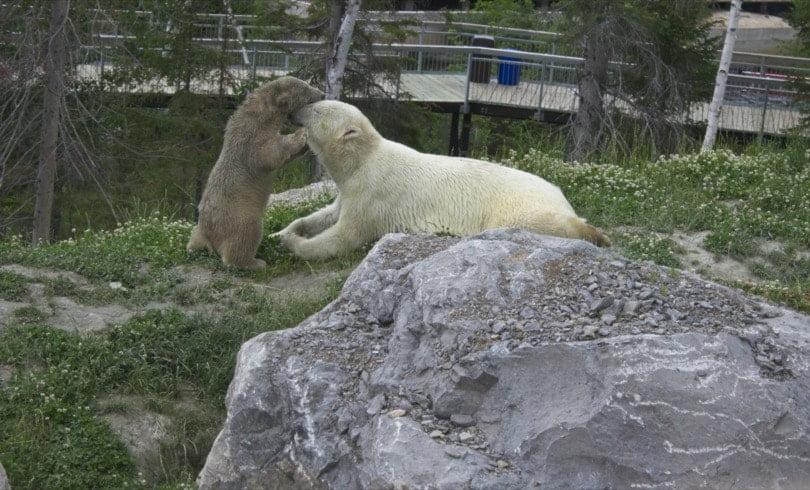 Ours polaire et son ourson du zoo de Saint Félicien