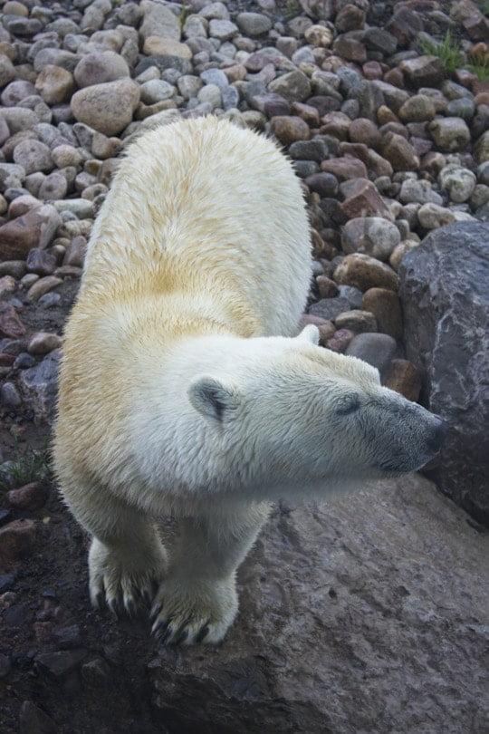 Ours polaire de la toundra arctique