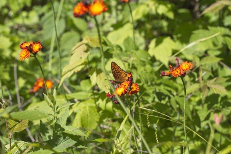 Epervière et papillon