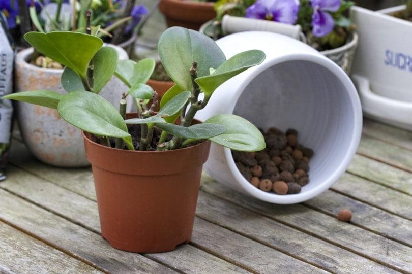 Préparation du rempotage des plantes vertes