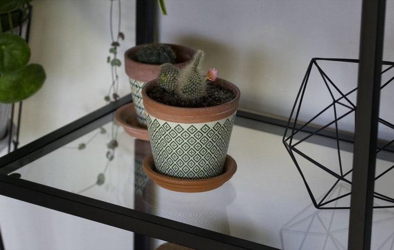 Floraison de mes cactus
