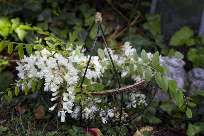 Bouquet de fleurs d'acacia