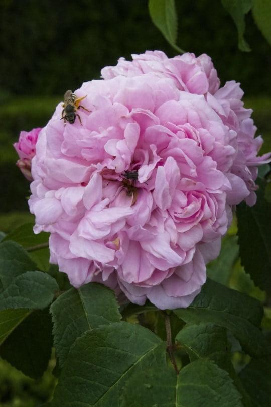 Des fleurs et des insectes au château de Hautefort