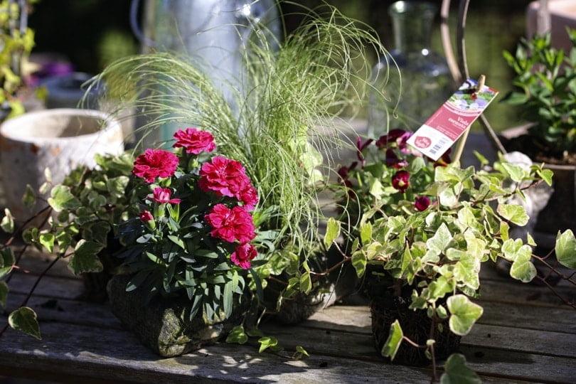 Plantes pour jardinière automnale