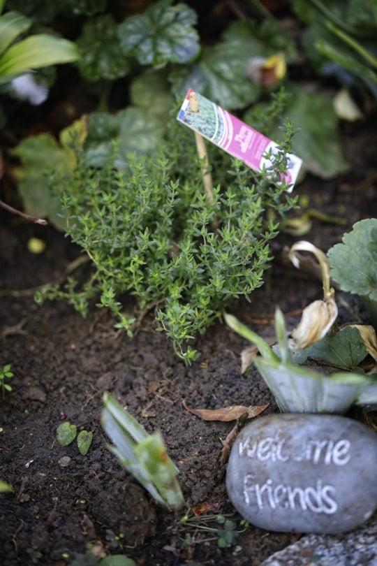 Thym Vive le végétal