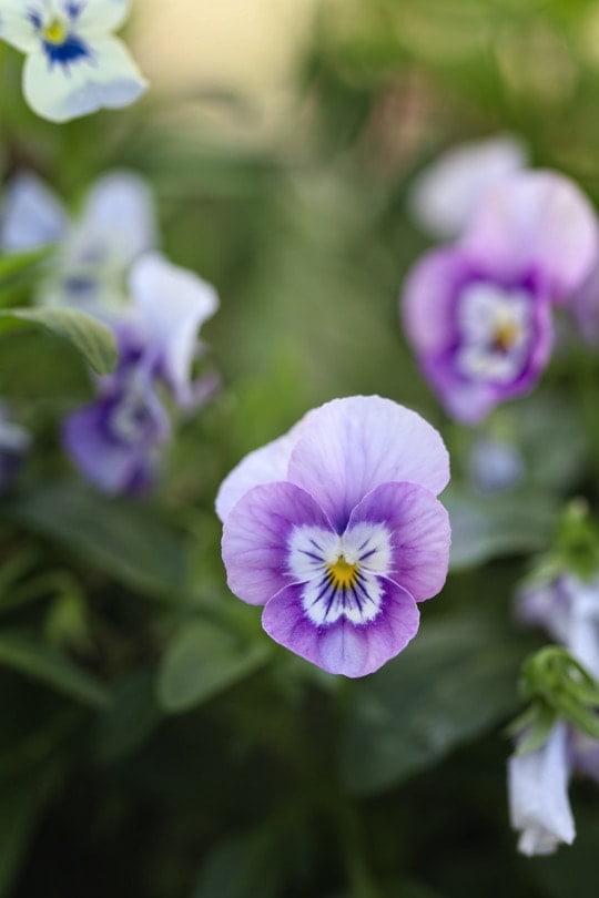 Violas mauves