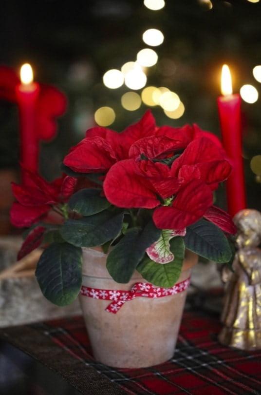 Poinsettia pour Noël