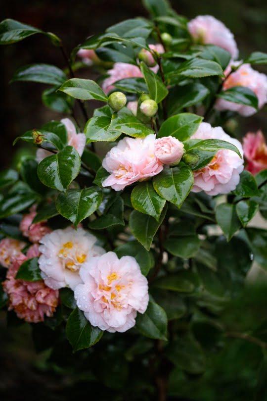 Camélia du Japon King's Ransom en fleurs