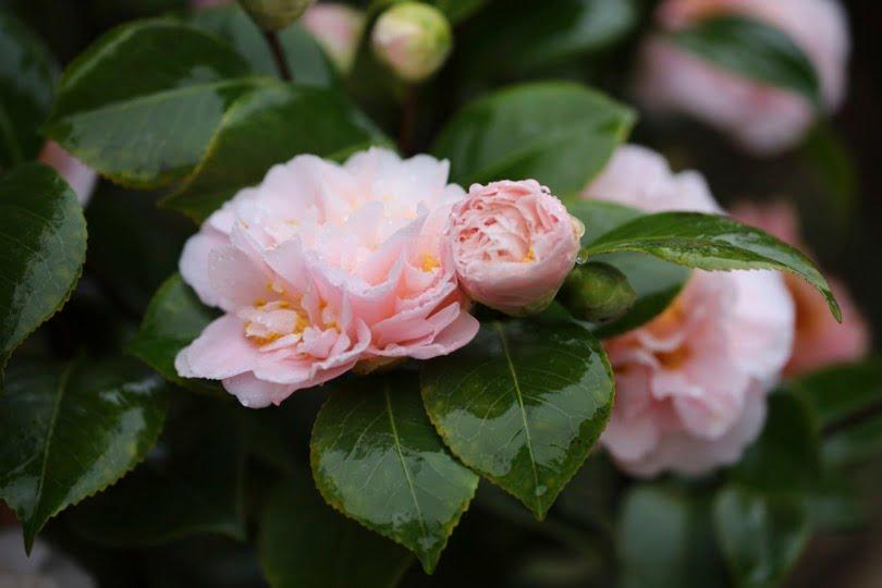 Camélia du Japon King's Ransom