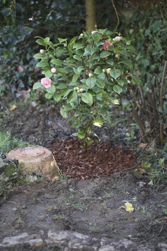 Planter un camélia du Japon