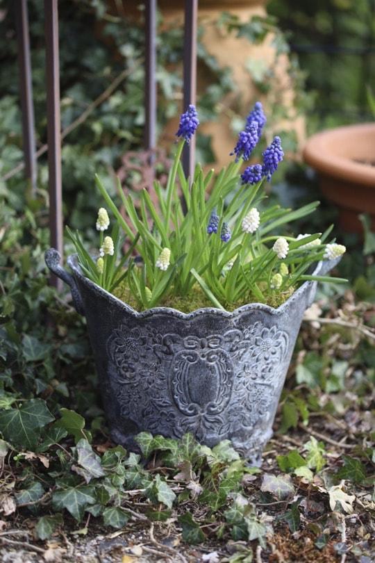 Premiers muscaris forcés pour un jardin fleuri au début du printemps