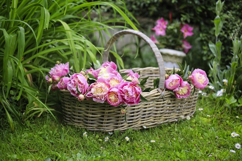 Pivoines Bowl of beauty dans un grand panier Loberon